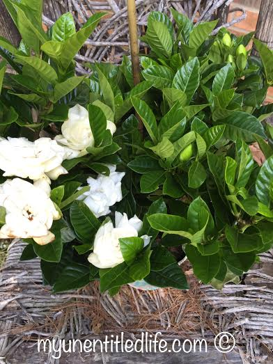 beautiful graceful gardenias from 1800Flowers