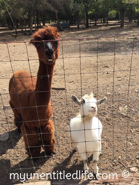 petting-zoo-lucky-ladd-farm